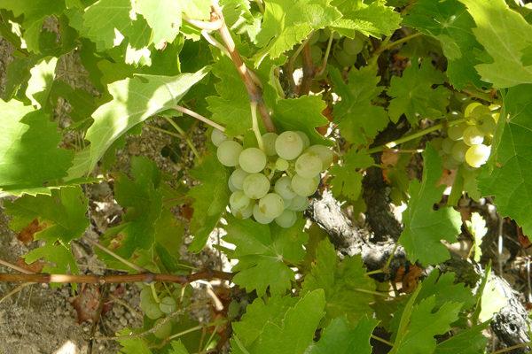Aprobada la inscripción de la uva Rufete Serrano Blanco