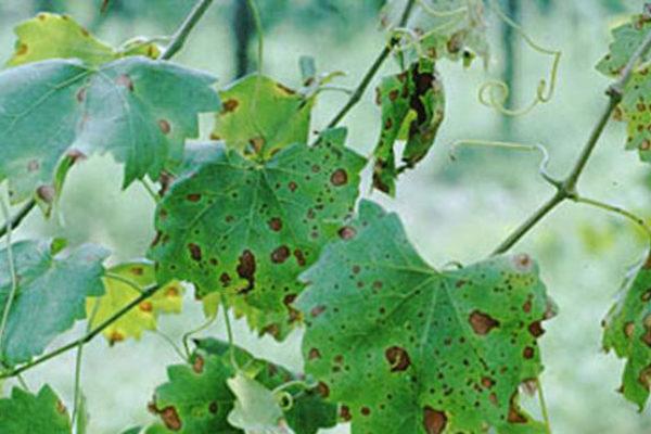 Valdeorras advierte a los viticultores de indicios de 'black rot' en la comarca