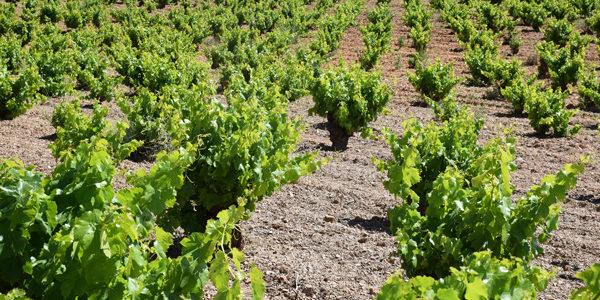 El MAPA distribuye las autorizaciones para nuevas plantaciones de viñedo en 2020