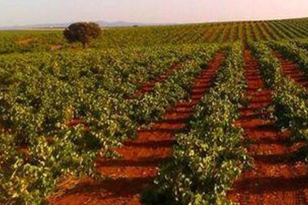 En Castilla-La Mancha los precios de la uva han caído de media un 30% respecto al año pasado, denuncia Asaja