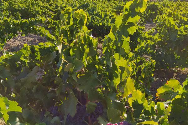 La D.O.P. Cebreros modifica su pliego de condiciones para mejorar la identificación y diferenciación de sus vinos