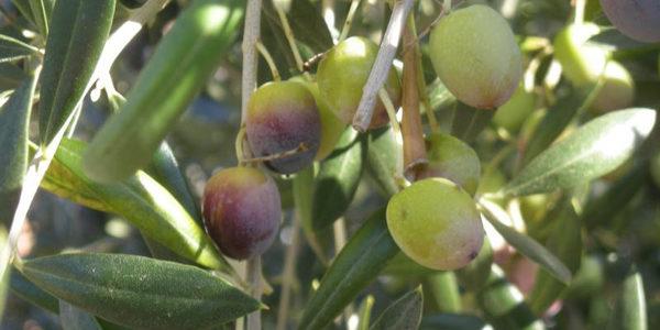 Miranda presenta el proyecto para renovar la normativa de calidad del aceite de oliva