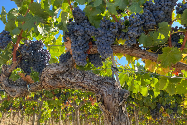 Somontano concluye la vendimia con más de 15.200.000 kilos de uva recogida