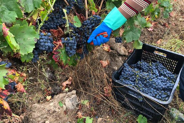 Vendimia 2020, menor producción y calidad en la uva muy buena