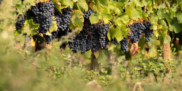 La Xunta convoca el préstamo vendimia para que las bodegas puedan comprar toda la uva de esta cosecha en condiciones normales de mercado