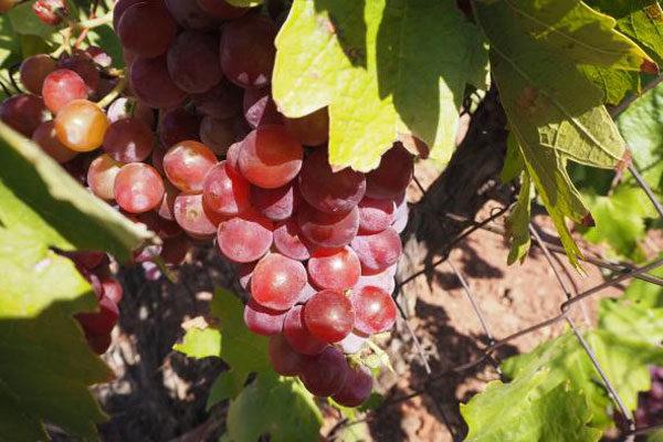 La convocatoria de los planes de reestructuración del viñedo en Castilla-La Mancha para las campañas de 2022 y 2023 llegará en el primer trimestre de 2021
