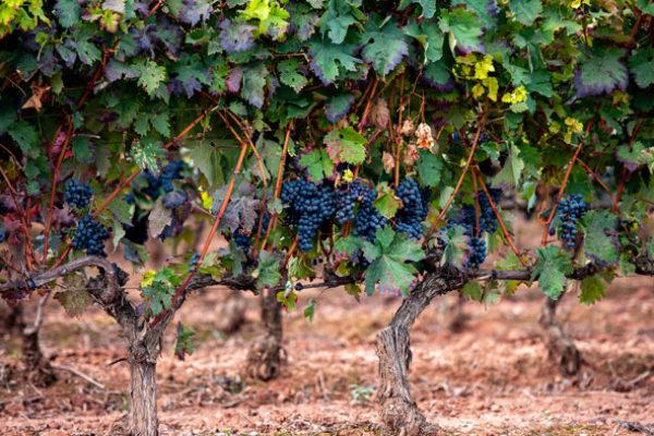 Rioja confirma que la media de pagos por la cosecha de uva en 2020 fue inferior a los costes de producción