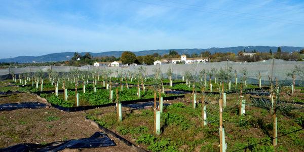Andalucía obtiene tres nuevas variedades de olivo más resistentes a la verticilosis
