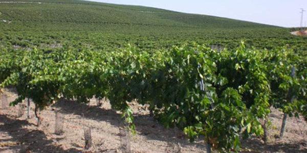 Ayudas por 5,9 millones para el viñedo en Andalucía