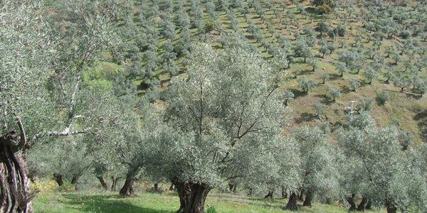 El paisaje del olivar en Andalucía, candidato a Patrimonio Mundial de la Unesco