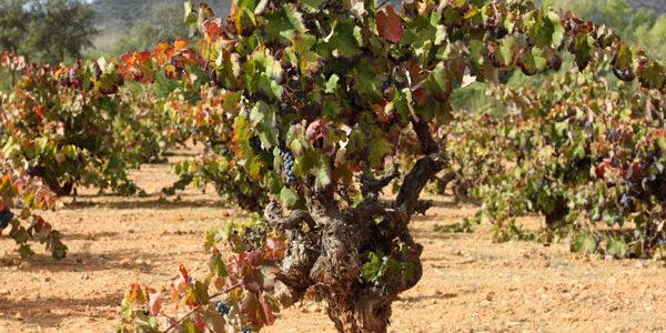 La D.O.P. Alicante incorpora variedades antiguas en su nuevo pliego de condiciones