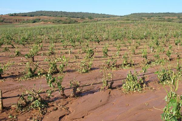 Recomendaciones de actuación a agricultores en viñedo y olivo tras las tormentas con granizo en La Rioja
