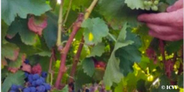 El calentamiento global permite producir una segunda cosecha de uva, de características totalmente distintas y claramente superiores a las de la primera cosecha