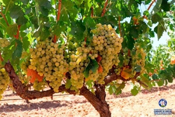La D.O.P. Condado de Huelva muestra su optimismo para la vendimia de 2021 por el excelente estado de la uva