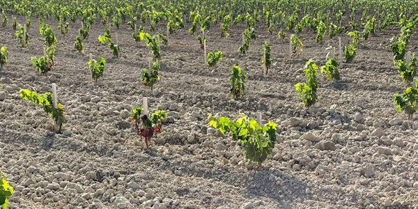 Bodegas Roda da un salto lateral en el sistema de plantación de viñedos
