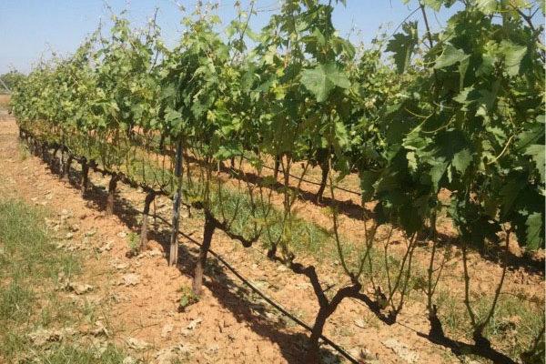 Extremadura abona otros 3,5 millones de euros del programa de apoyo al vino