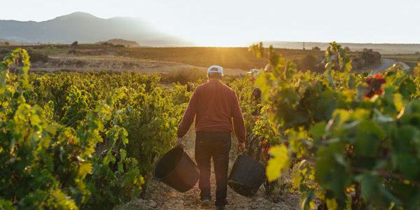 Vendimia generalizada en D.O.Ca. Rioja