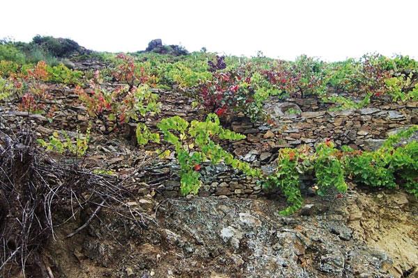 La vendimia concluye en Valdeorras con más de 7 millones de kilos de uva recogidos